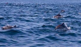 Vagem do golfinho comum imagens de stock
