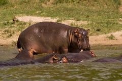 Vagem dos hipopótamos Imagens de Stock