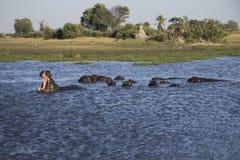 Vagem dos hipopótamos em um lago Fotos de Stock Royalty Free
