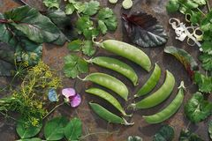 Vagem e flor verdes novas da ervilha, beterraba de forragem, salsa, aneto, c Imagem de Stock Royalty Free
