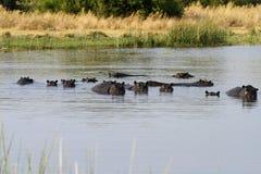 Vagem enorme dos hipopótamos foto de stock