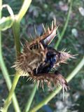Vagem madura da semente de Stramonium do estramônio imagem de stock royalty free