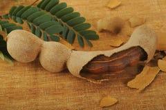 Vagem madura do tamarindo com folhas Imagem de Stock
