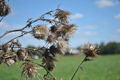 Vagem secada da semente do cardo Fotos de Stock Royalty Free