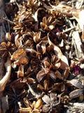 Vagens da semente Foto de Stock