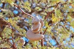 Vagens da semente da árvore de Camelthorn Foto de Stock