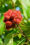 Vagens da semente da árvore do urucueiro Fotos de Stock