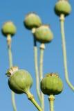 Vagens da semente de papoila Foto de Stock