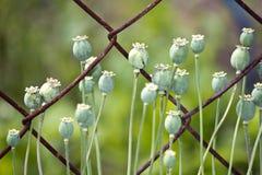 Vagens da semente de papoila Fotografia de Stock