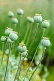 Vagens da semente de papoila Foto de Stock Royalty Free
