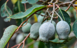 Vagens da semente do eucalipto que penduram no fim do ramo acima Foto de Stock