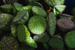 Vagens da semente dos lótus Imagem de Stock