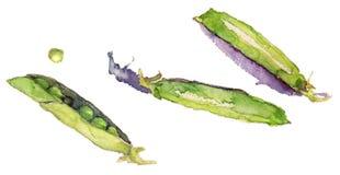 Vagens de ervilha verde, aquarela, no fundo branco Fotografia de Stock Royalty Free