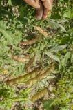 Vagens de ervilhas secadas suspendidas do pombo ilustração do vetor