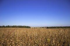 Vagens maduras que penduram no campo, logo colheita do feijão de soja, outono foto de stock royalty free
