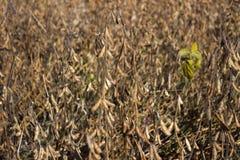 Vagens maduras que penduram no campo, logo colheita do feijão de soja, outono imagem de stock royalty free