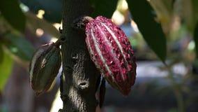 Vagens roxas coloridas do cacau em uma árvore em Equador filme