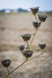 Vagens secas da semente do theophrasti do Abutilon Imagens de Stock Royalty Free
