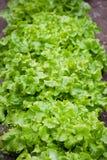 Vagetables verdes Imagens de Stock