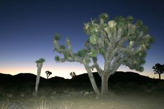Vagga öknen för den klättringJoshua Tree Big Rocks Yucca Brevifolia mojaven Royaltyfri Bild