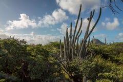 Vagga bildande, Aruba Royaltyfria Foton