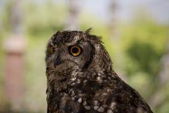 Vagga Eagle Owl Arkivfoto