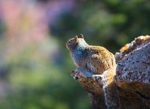 Vagga ekorresammanträde på Rock Royaltyfri Fotografi