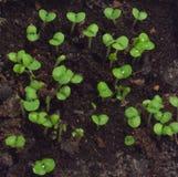 Vagga gräslökkryddkrasse som är klar att äta Royaltyfri Bild