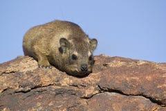 Vagga hyraxen Arkivfoto