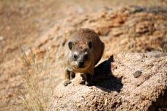 Vagga hyraxen Fotografering för Bildbyråer