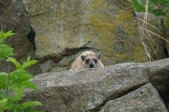 Vagga hyraxen - Procaviacapensis Fotografering för Bildbyråer