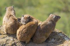 Vagga hyraxes i solen Fotografering för Bildbyråer