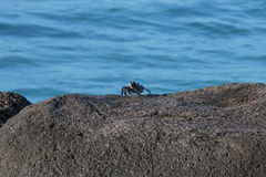 Vagga krabbafradga Arkivfoto