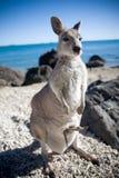 Vagga vallabyen med behandla som ett barn känguruunge Arkivbilder