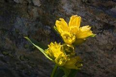 Vaggar den Gentiana Punctata för den alpina blomman prickiga gentianan med som bakgrund Backlit skott, Aosta Valley Arkivbild