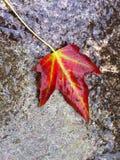 Vaggar det våta höstbladet för singeln som är rött med vibrerande gröna åder, från ovannämnt på stenen Royaltyfri Fotografi