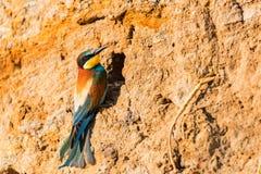 Vaggar för den europeisk bi-ätaren för den exotiska fågeln sittpinnar eller Meropsapiaster nära hålet in royaltyfri fotografi