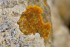 Vaggar organisk tillväxttextur för den orange laven på kalksten arkivfoton