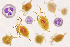Vaginalis Trichomonas protozoan Στοκ Εικόνες