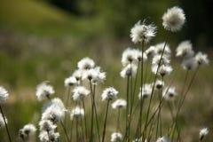 Vaginatum del Eriophorum de la hierba de algodón Imágenes de archivo libres de regalías