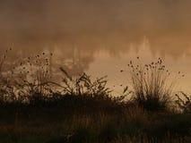 Vaginatum del Eriophorum en la salida del sol Fotografía de archivo libre de regalías