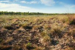 Vaginatum för Eriophorum för bomullsgräs i ett brett myrlandskap i s royaltyfri bild