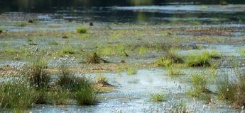 Vaginatum för Eriophorum för bomullsgräs i vattnet i en myrlandsc royaltyfri foto
