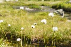 Vaginatum L del Eriophorum (cottongrass de la liebre-cola, cottongrass del mechón, cottonsedge forrado) Foto de archivo libre de regalías