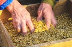 Vagliando il grano al il setaccio a mano Immagine Stock