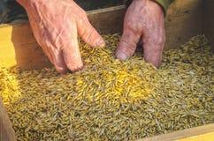 Vagliando il grano al il setaccio a mano Immagine Stock Libera da Diritti