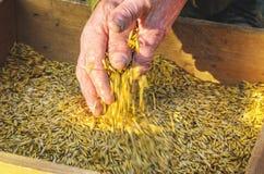 Vagliando il grano al il setaccio a mano Fotografia Stock