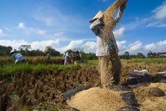 Vagliatura del riso in Bali, Indonesia Immagini Stock Libere da Diritti