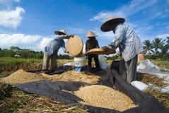 Vagliatura del riso in Bali, Indonesia Immagini Stock