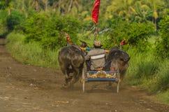 vagn med tjurar på loppet arkivbilder